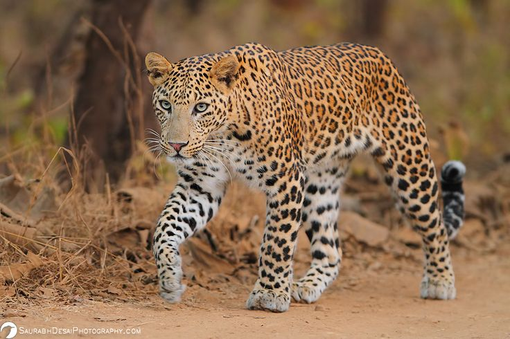 leopard of Gujarat